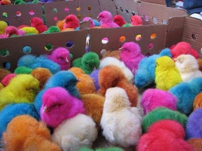 ayam kaler