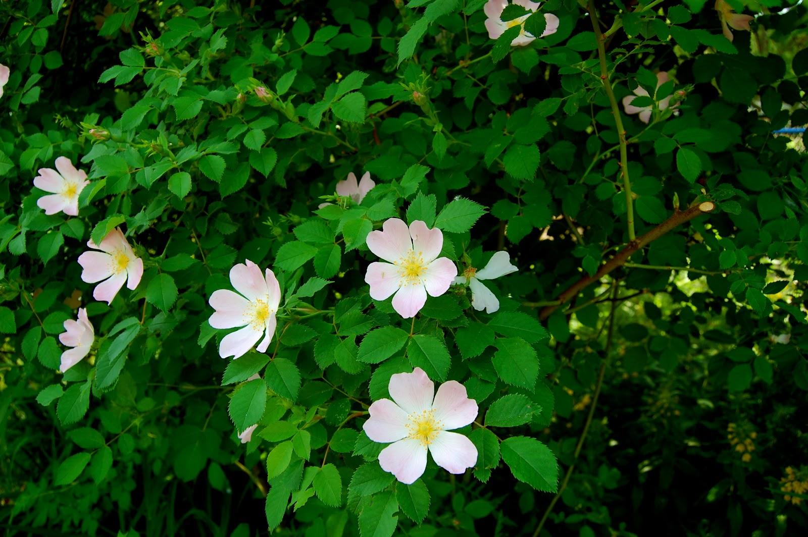 Astrids Garden Design Roses In My Garden
