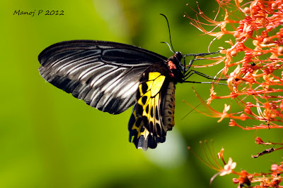 Southen Birdwing Female