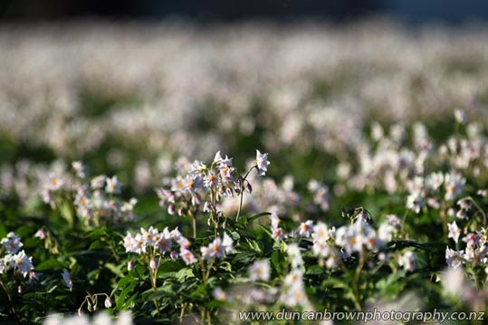 Flowering spuds in Clive photograph