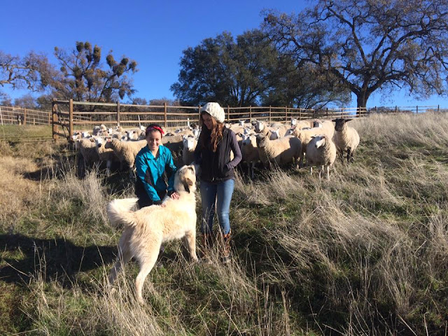When livestock are your livelihood – #sheep365