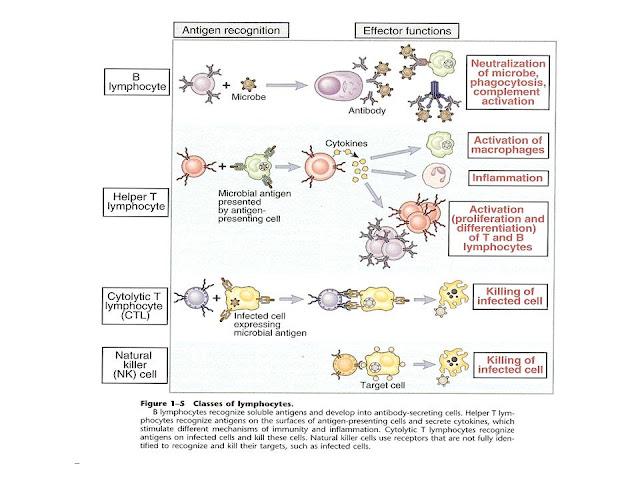 how natural killer cells recognise target