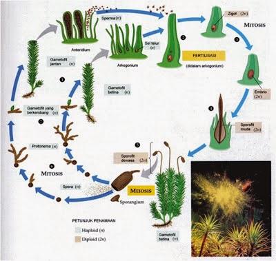 3 Klasifikasi Tumbuhan Lumut (Bryophyta)