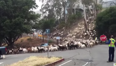 Who let the goats out!