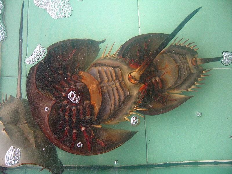 Horseshoe Crab Eating The Horseshoe Crab 39 s Name is