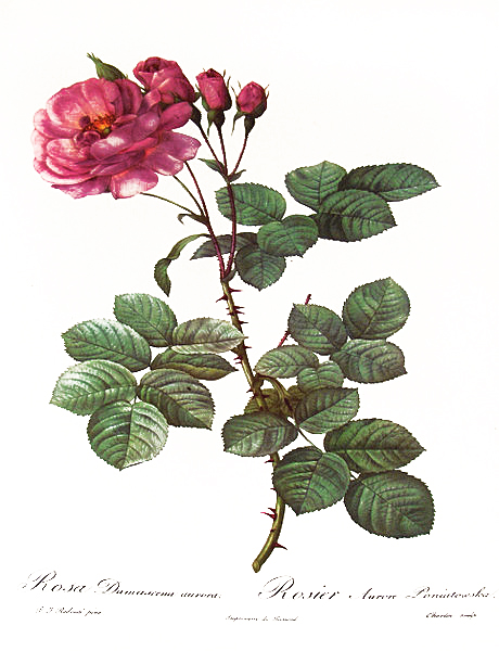 Róża damasceńska (Rosa Damascena, Damask Rose)