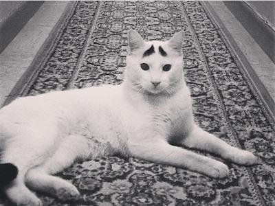 foto samhaseyebrows, kucing yang memiliki alis 03