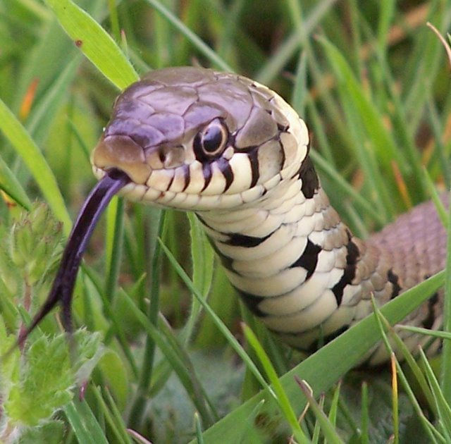 Why Do Snakes Use Their Tongue? | petMD