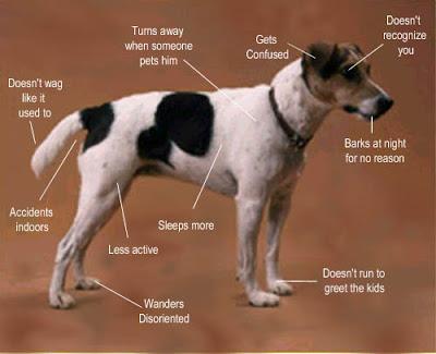 Các dấu hiệu của hội chứng rối loạn nhận thức trên chó