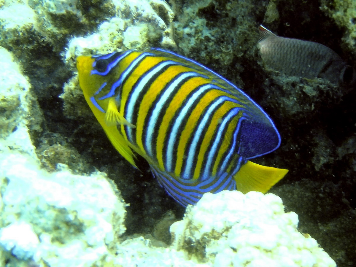 royal angelfish emperor angelfish angelfish pair