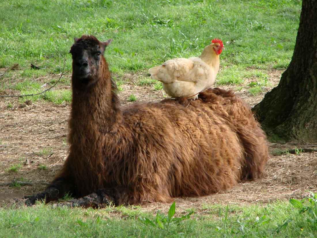 Hilarious Llama Pictures Funny Llamas Nice Phot...