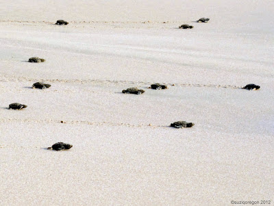 Baby turtles headed for the water