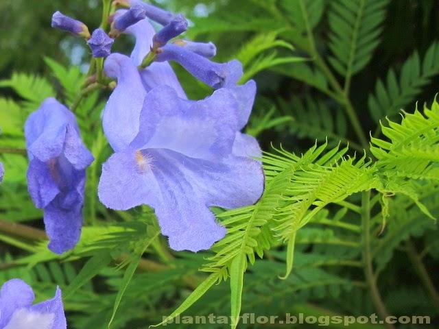 Plantas y flores flores de color azul for Planta ornamental jacaranda