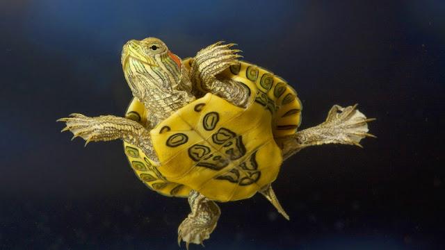 tortuga pequeña nadando Imagenes de Tortugas