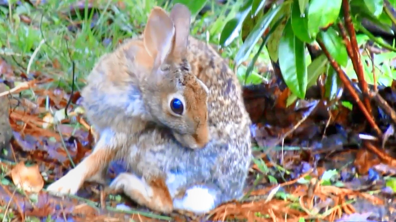 Eastern Cottontail Rabbit Grooming after Rainstorm