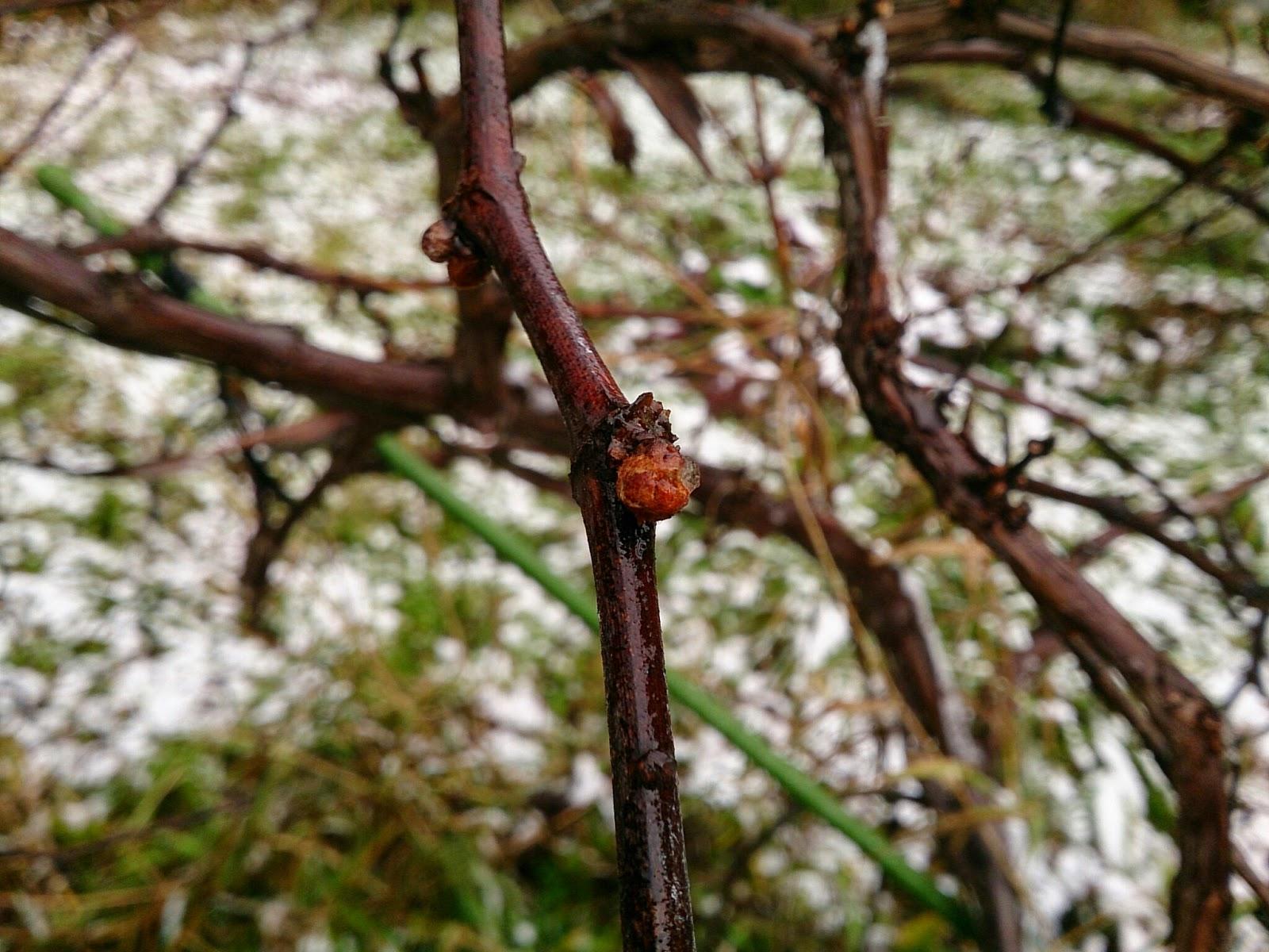 ヤマブドウの芽