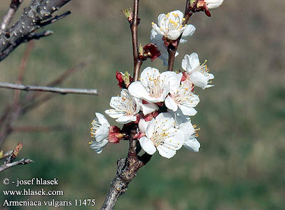 Albaricoque silvestre Armeniaca vulgaris