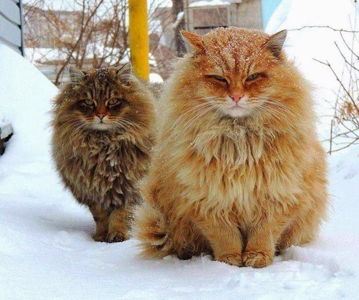 Funny cats - part 91 (40 pics + 10 gifs), two fluffy siberian cats in the snow