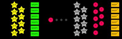 Gambar 5. Persamaan keseluruhan siklus Calvin (lingkaran hitam mewakili atom karbon)