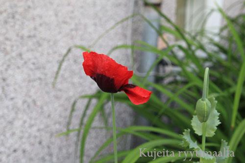 Punainen idänunikko kukkii unikonkukka