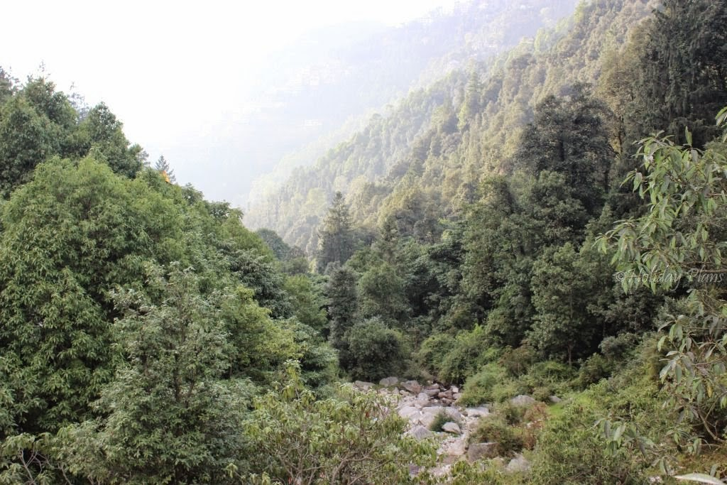 Deodar forest at  Panchpulla