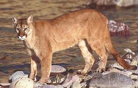 Puma%252C%2Bpub%2Bdom.jpg