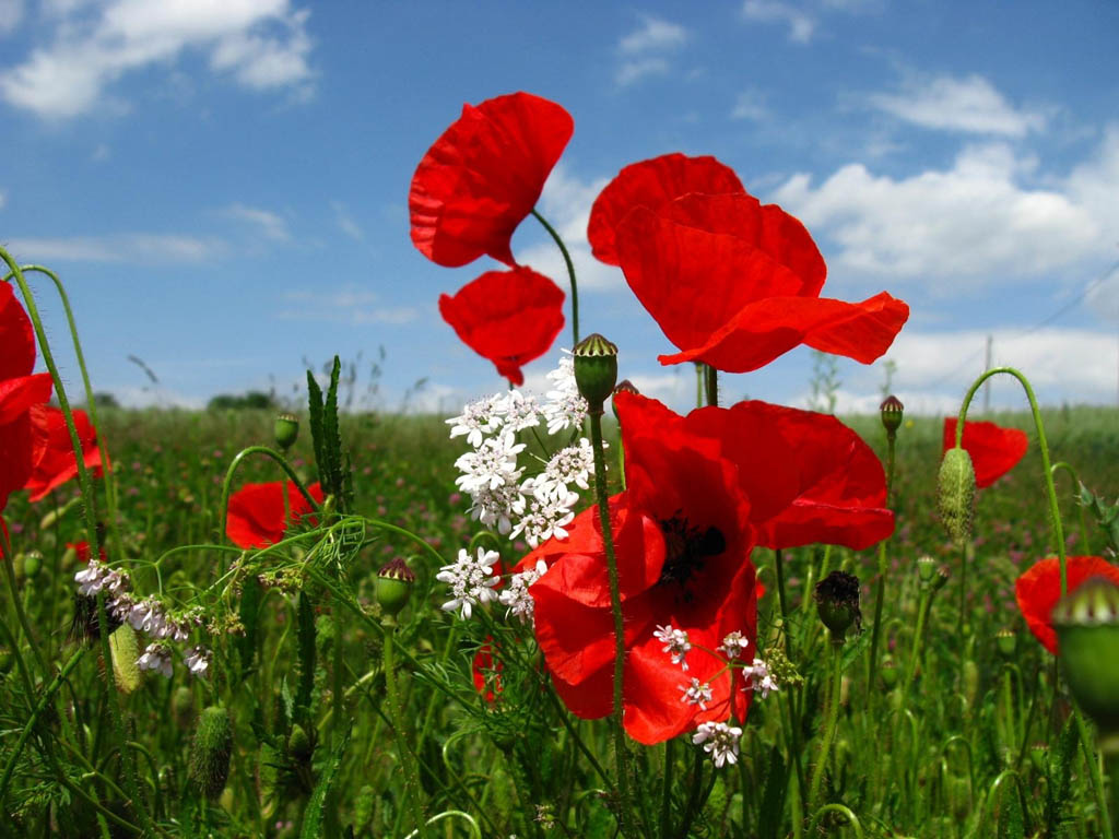 http://2.bp.blogspot.com/-u0uBEtUqd3s/UTTKKna43AI/AAAAAAAAUCg/j97YLWQqgvs/s1600/Poppy+Flowers+Desktop+Wallpapers.jpg