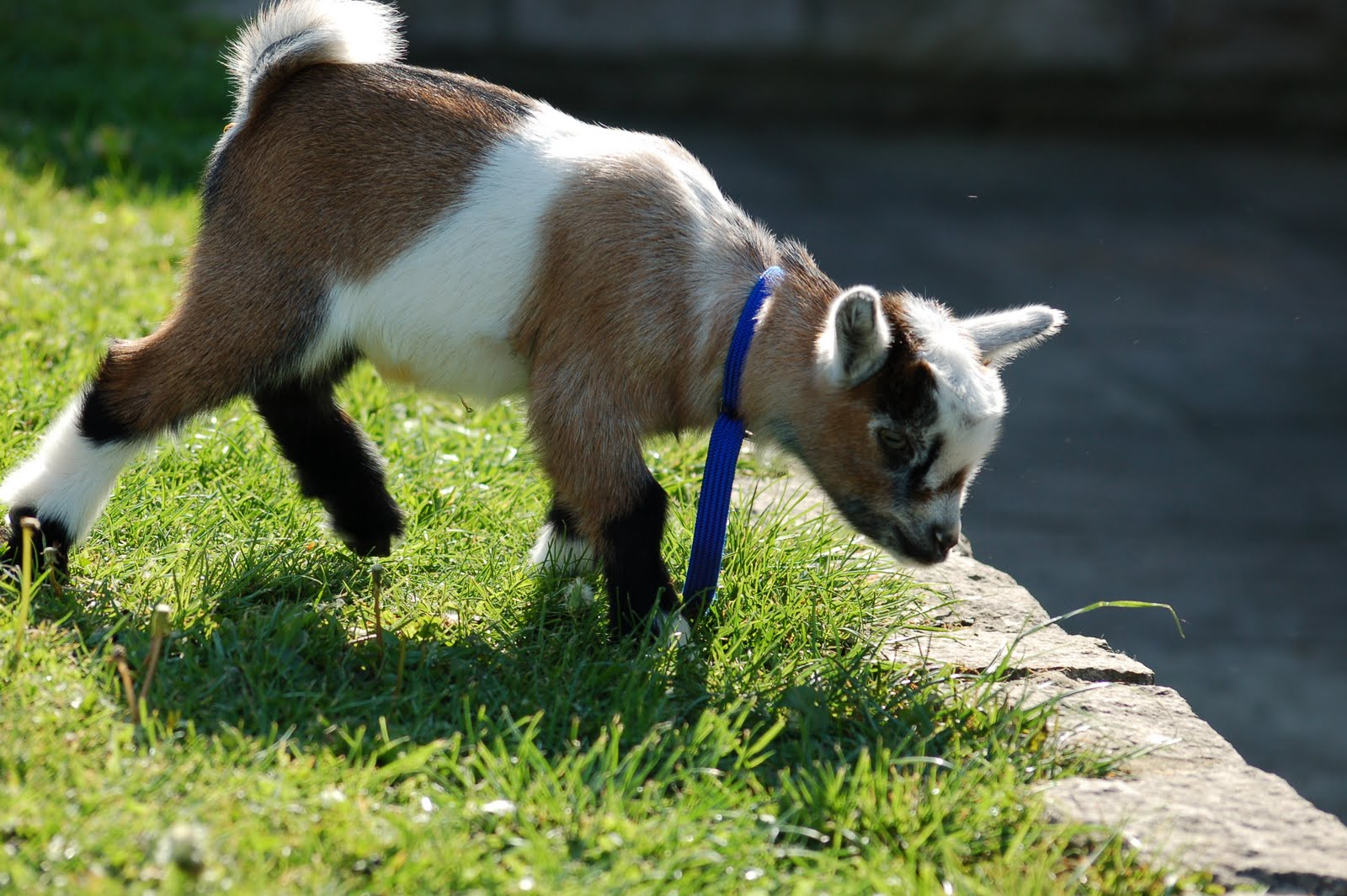 Maiden Castle Cottages - Pygmy Goats