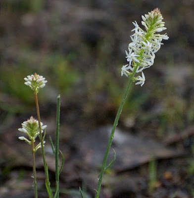 White Candles (Stackhousia monogyna)