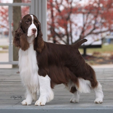 Grooming A Field Spaniel DOG SHOW POOP: 2011-10...