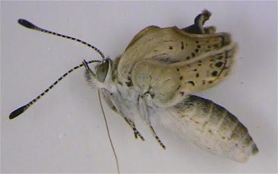mariposa con radiación nuclear mutante