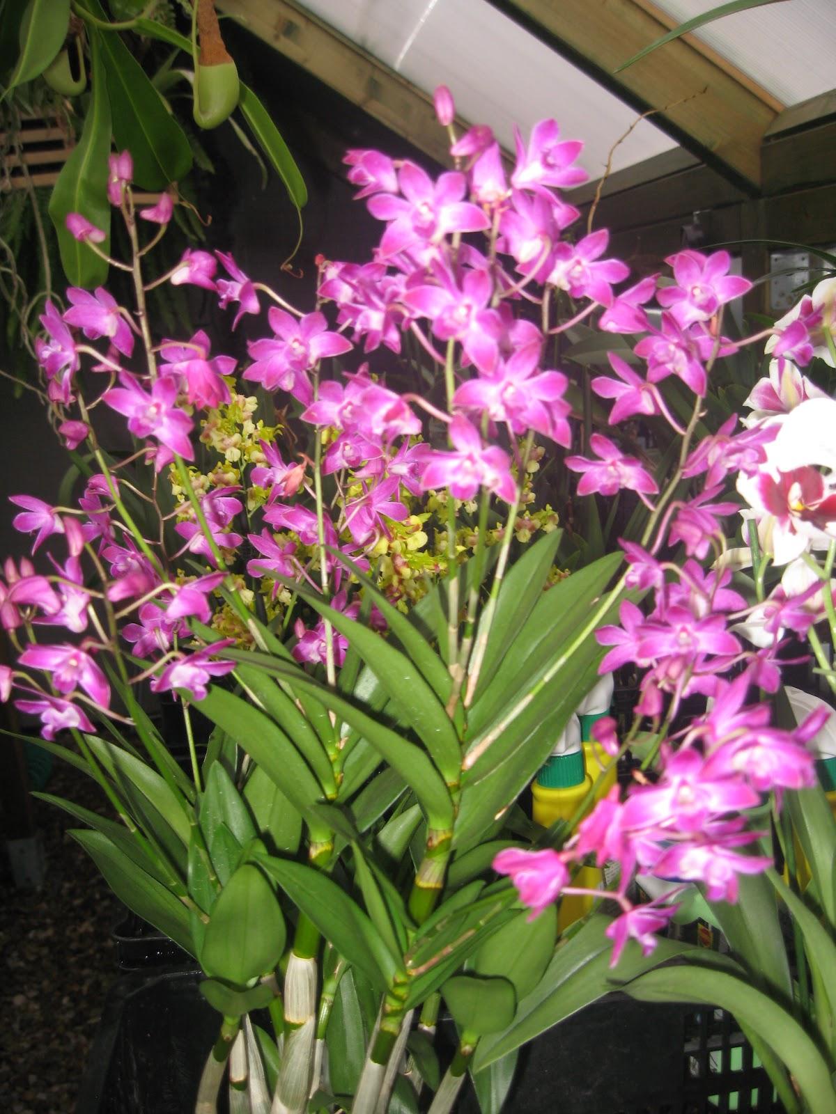 kingianum x Dendrobium Mini Pearl) . Fácil cuidado, insensible a plagas y descuidos de cultivo, floración abundante asegurada y además un delicioso