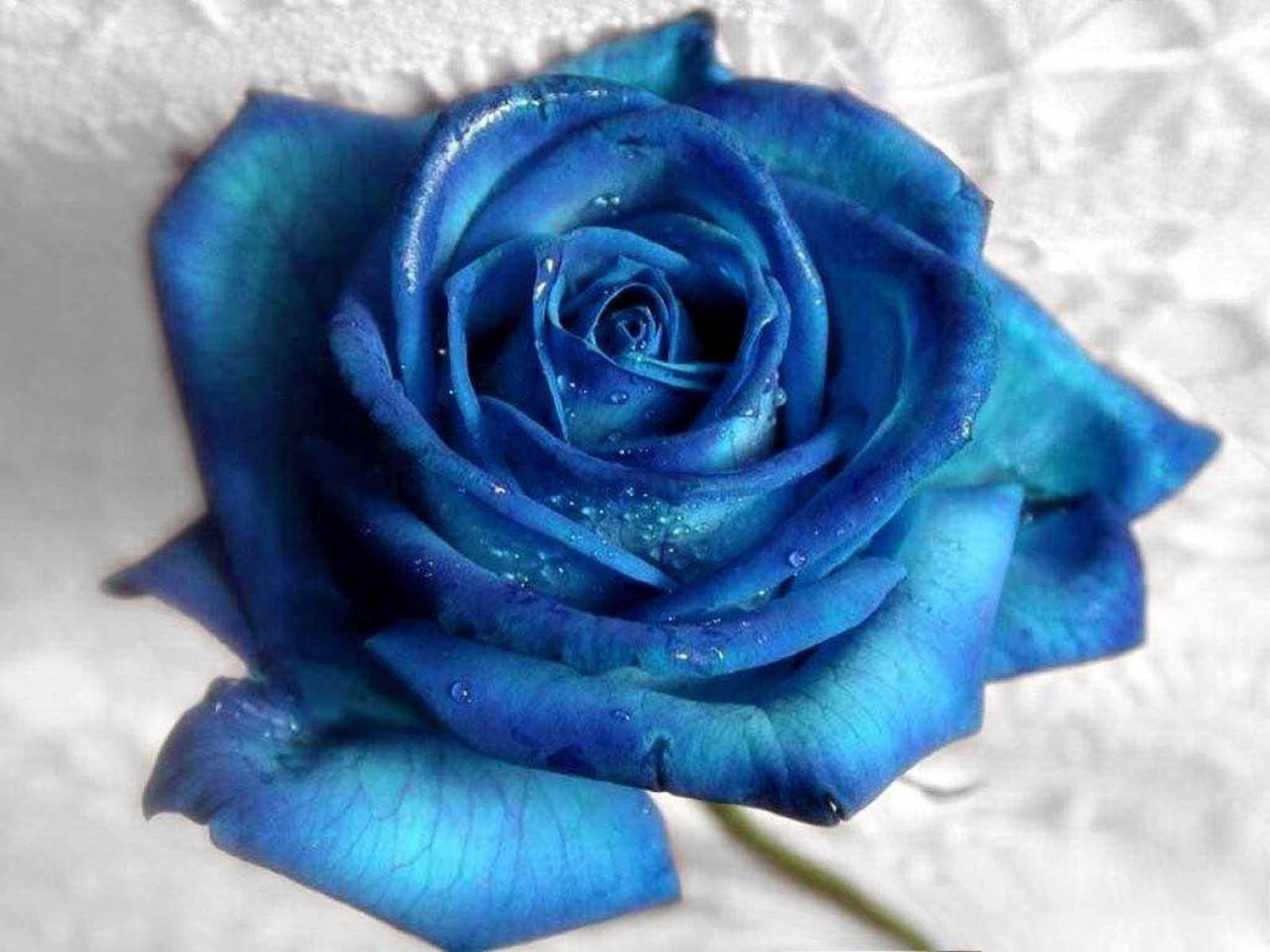 http://2.bp.blogspot.com/-u1VAhTy4O58/UF6-Q6EVKiI/AAAAAAAAKU0/OzJLycOURd4/s1600/Blue%2BRose%2BWallpapers%2B2.jpg