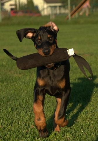 Price of a Doberman Puppy