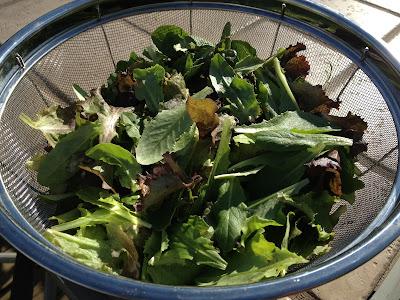 baby lettuce salad greens