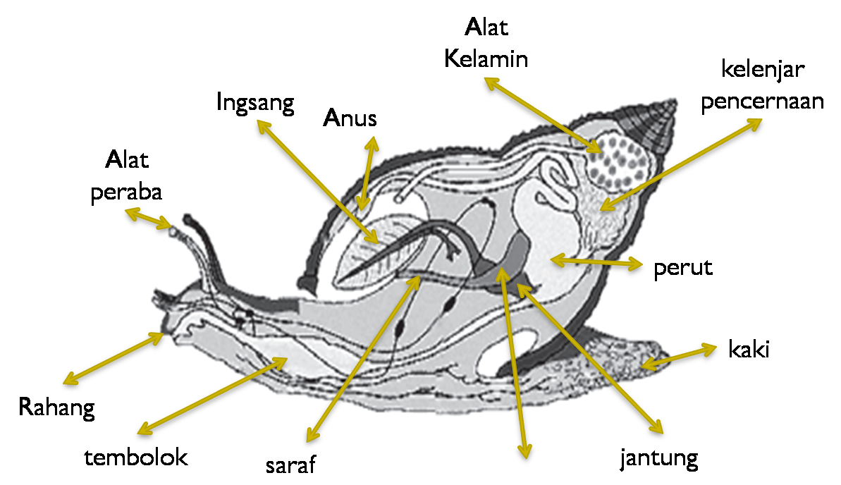 Gastropoda Bergerak Menggunakan