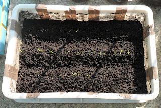 7 апреля, всходы детерминантных помидоров