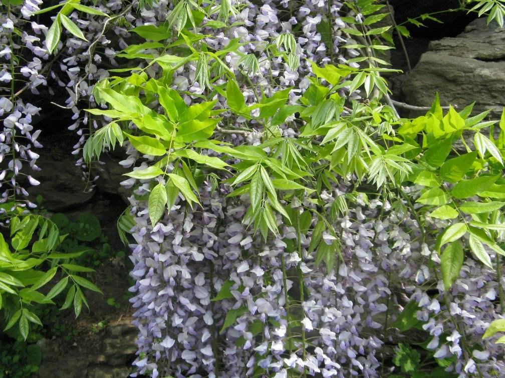 Royal Botanical Gardens Japanese wisteria floribunda Lawrence by garden muses-not another Toronto gardening blog.JPG