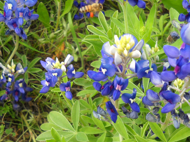 Bluebonnets with bee and pollen sack at White Rock Lake, Dallas, Texas