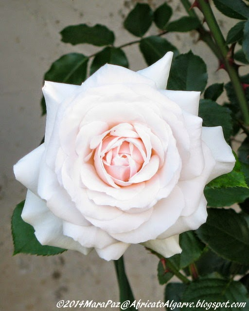 pink centred white rose