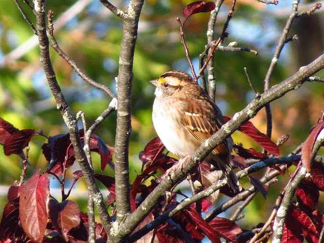 white-throated sparrow one