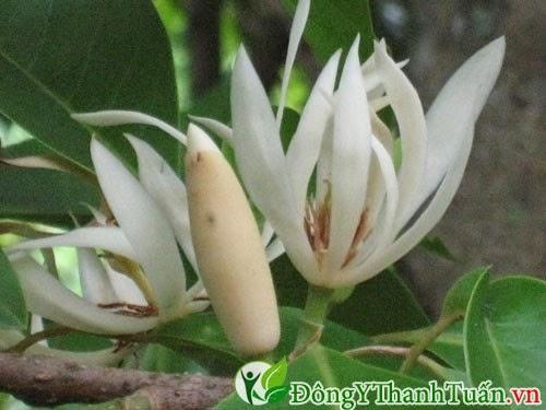 Bài thuốc chữa viêm mũi dị ứng từ hoa ngọc lan