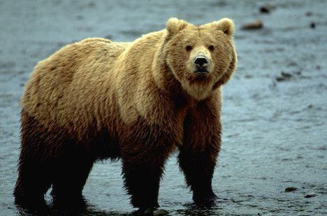 external image grizzly-bear_grizzly-bear.jpg