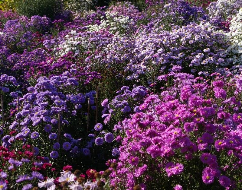 picton garden John Grimshaw's Garden Diary: Michaelmas daisies at Old
