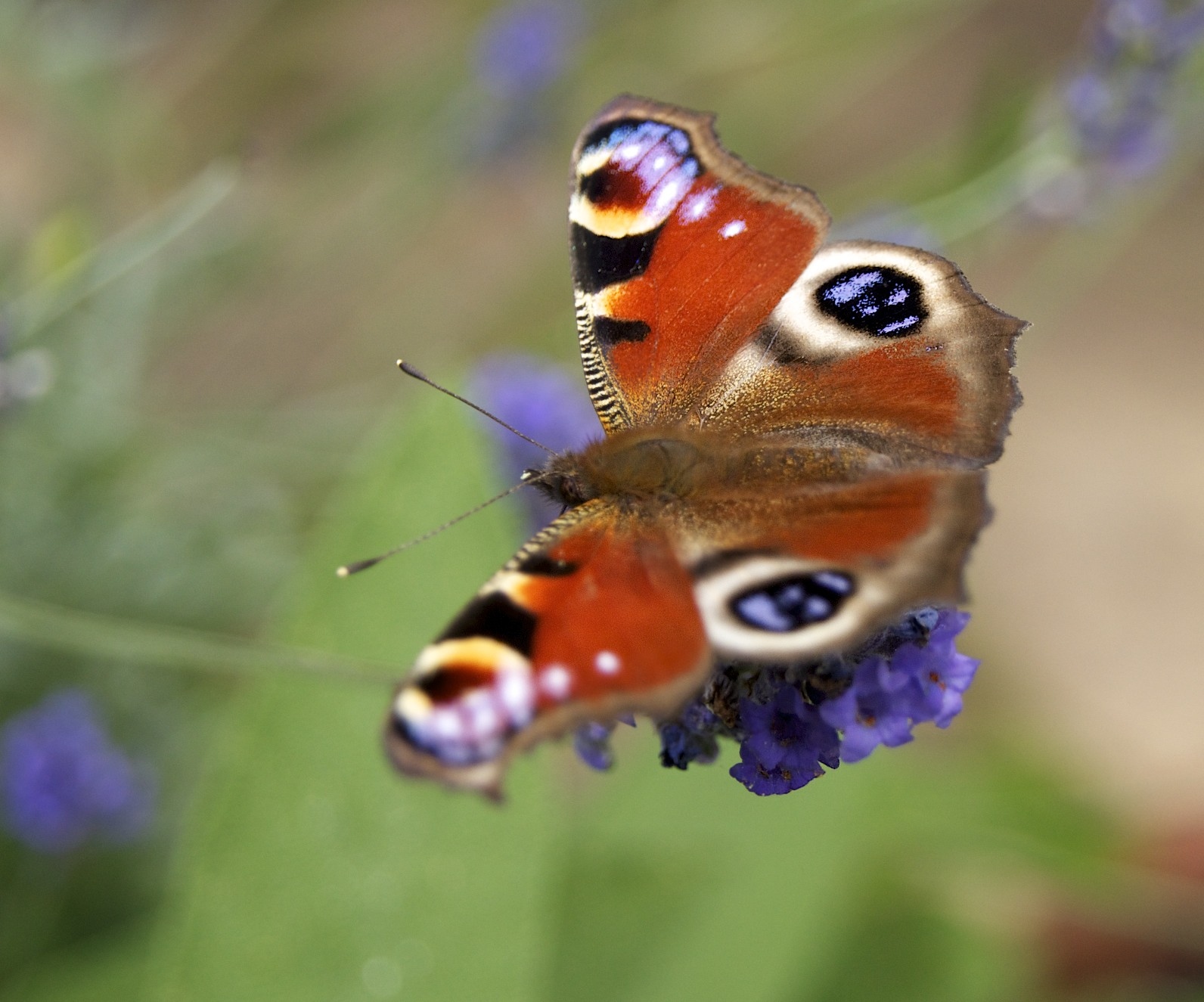 Real Life Butterfly Pictures Real Life Butterfly Pi...