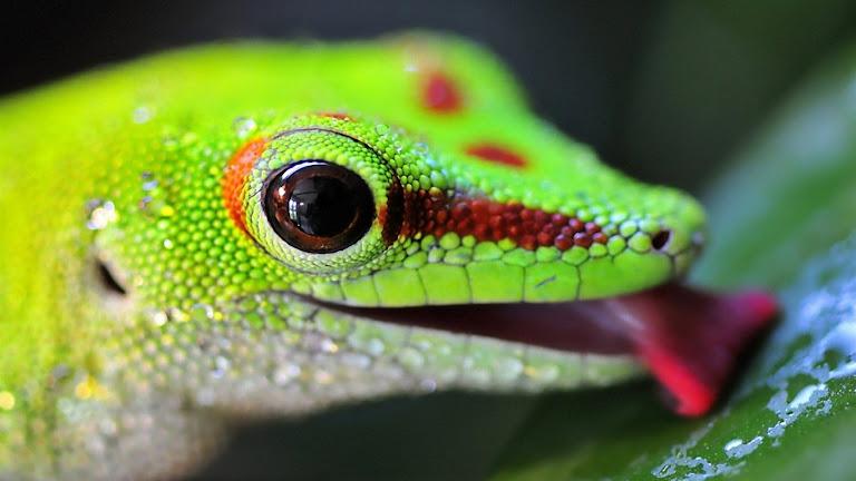 Lizard HD Wallpaper 6