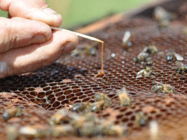 Illinois Illegally Seizes Bees Resistant To Monsanto's Roundup; Kills Remaining Queens
