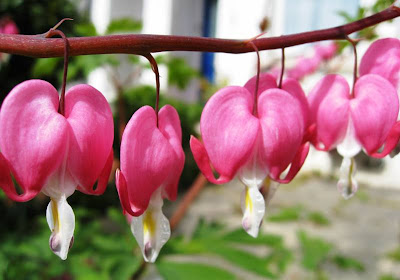 Bleeding heart pink and white flowers