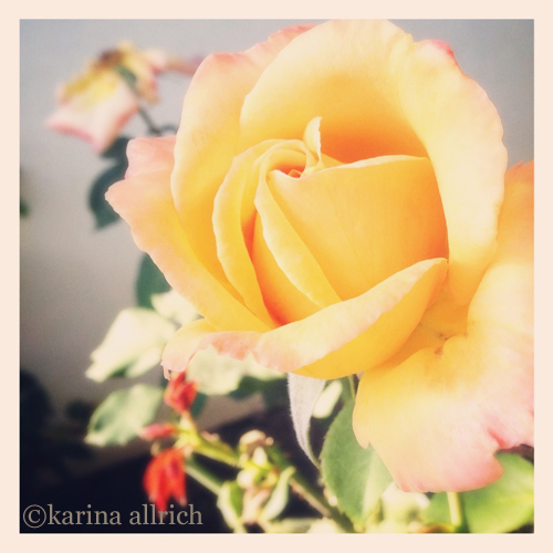 Vintage style iphone pic of a butter yellow rose by Karina Allrich.