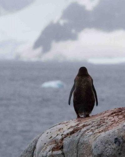 Ensom pingvin skuer ud over det arktiske hav